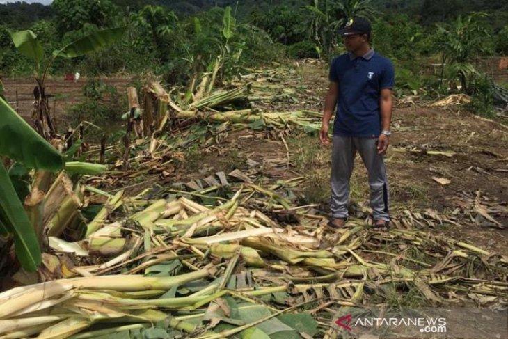 Puluhan hektare tanaman warga dirusak gajah