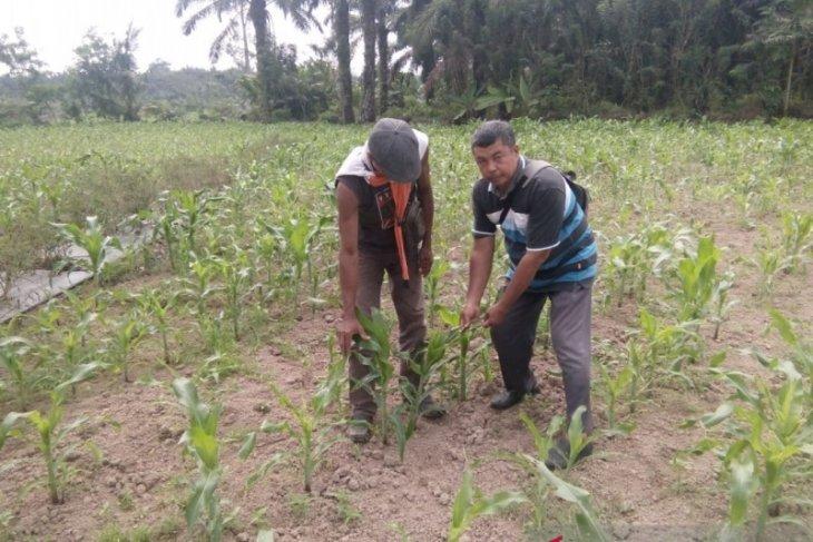 Distan Mukomuko bantu petani berantas hama ulat