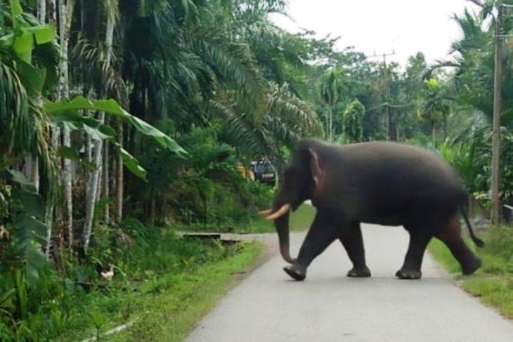 Puluhan rumah transmigran di Nagan Raya Aceh rusak oleh gajah