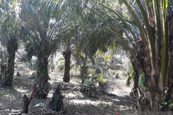 Distan Mukomuko : Tujuh kelompok terima program peremajaan sawit