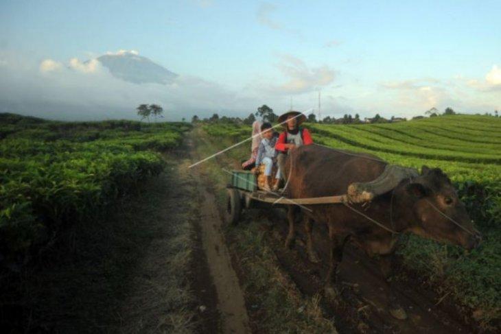 Gerobak sapi bawa hasil kebun petani  Kerinci