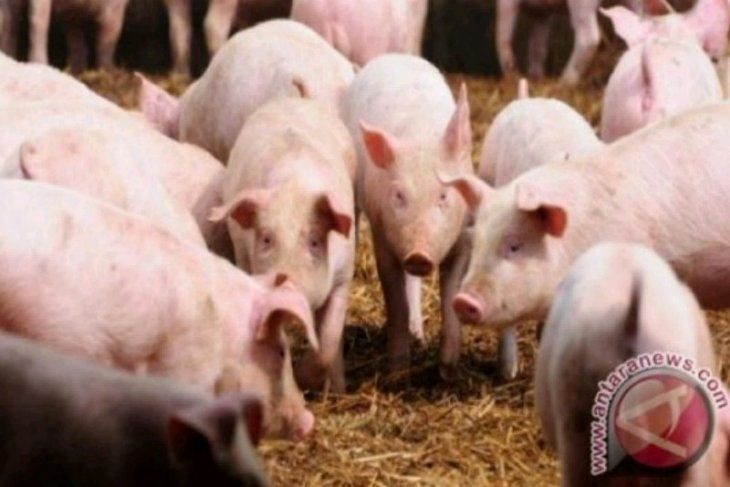 Ternak babi di Taput tidak punah oleh hog cholera dan ASF