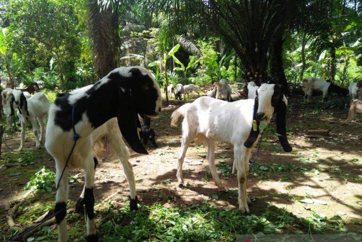Mukomuko segera bagikan puluhan kambing untuk petani