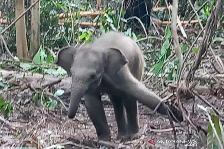 Bayi gajah sumatera terjerat lagi di konsesi HTI di Riau