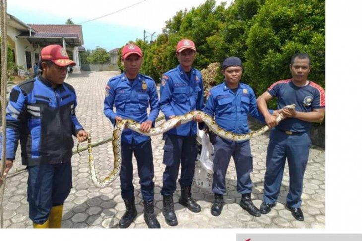Satpol PP Belitung imbau waspadai kemunculan ular saat musim hujan