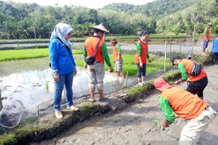 Bupati Landak minta kualitas varietas padi lokal Palawakng ditingkatkan