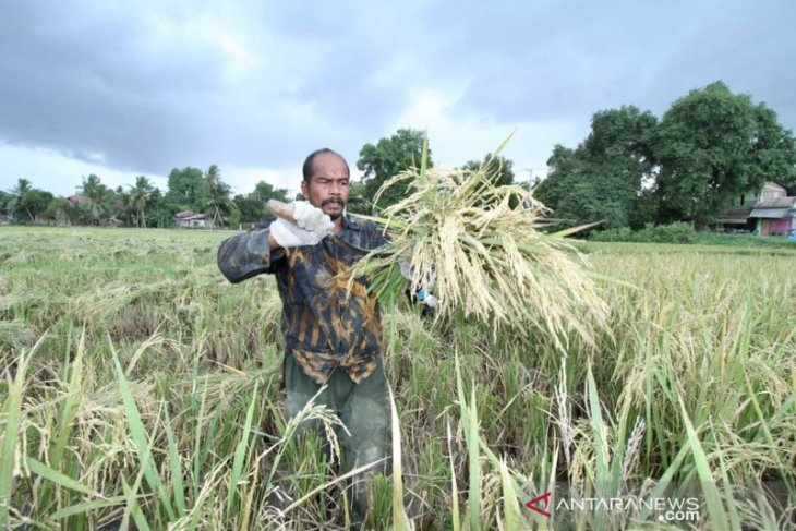 Petani Aceh keluhkan kelangkaan pupuk urea subsidi