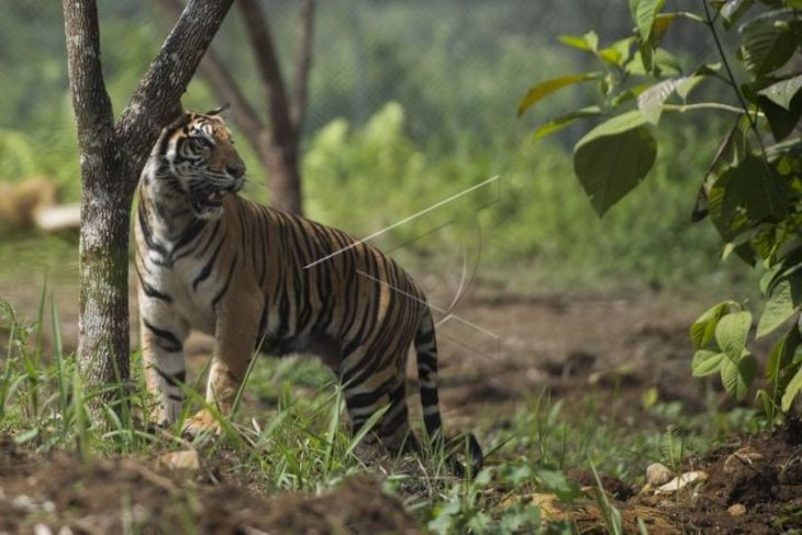 Trapped tiger in South Sumatra to be moved to Lampung