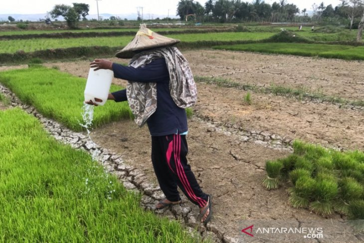 Irigasi rusak, sawah milik petani Aceh Besar kekeringan