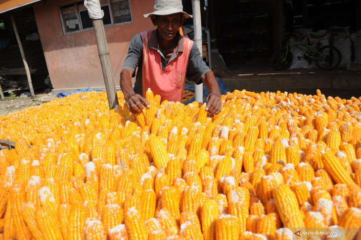 Harga jagung turun