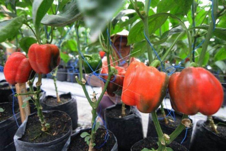 Pertanian paprika