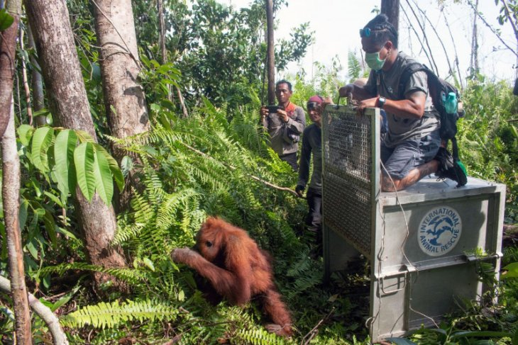 Forest fires in 2019 exacerbated orangutan-human conflicts