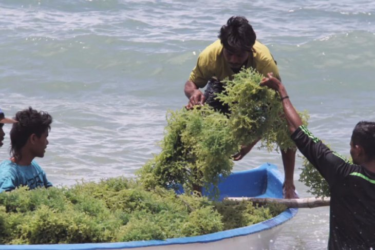 Fishery Ministry eyes for 10.99 million tons seaweed yield in 2020