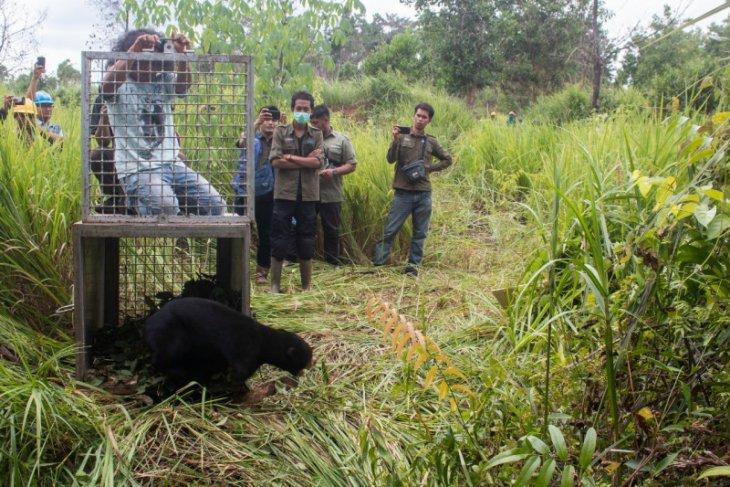 BKSDA-IAR Indonesia lepas liarkan beruang jantan di Ketapang