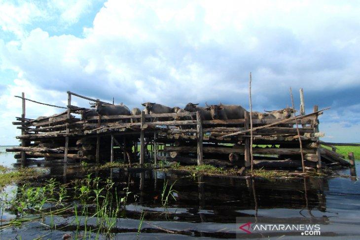 Keberadaan Kerbau Rawa Di Danau Panggang