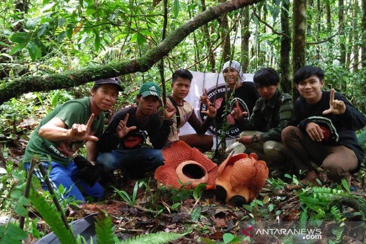 Lima bunga rafflesia bermekaran di Bengkulu