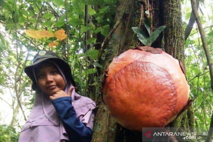 Langka Dan Unik Bunga Rafflesia Mekar Di Pohon Antara Sumbar