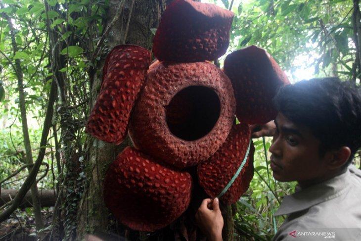 Turis berdatangan lihat bunga rafflesia yang mekar di pohon