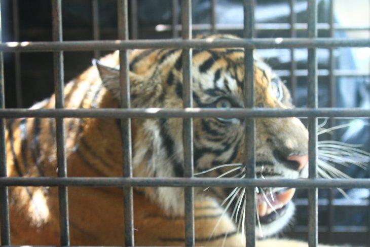 Habitat Harimau Sumatera Di Bengkulu Terus Menyempit Antara News Bengkulu