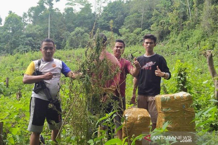 Polres Aceh Besar tangkap penanam dan pemilik ladang ganja