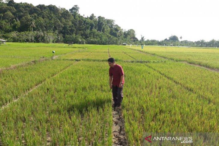 Kekeringan, 110 hektare padi di Aceh Jaya gagal tanam