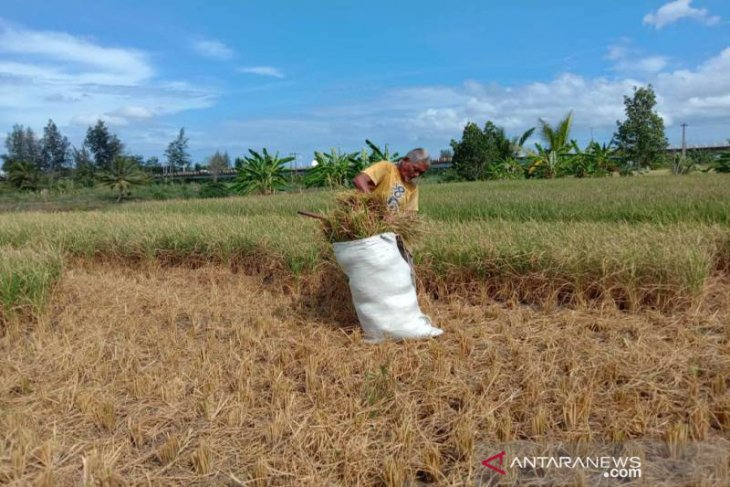 Akibat puso, petani jual batang padi ke peternak di Aceh Besar