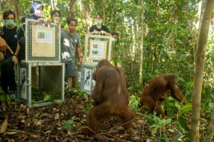 Lima orangutan dilepasliarkan di TN Bukit Raya