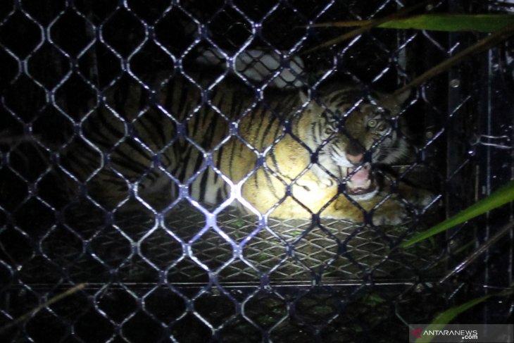 Evakuasi harimau Sumatera liar di Aceh