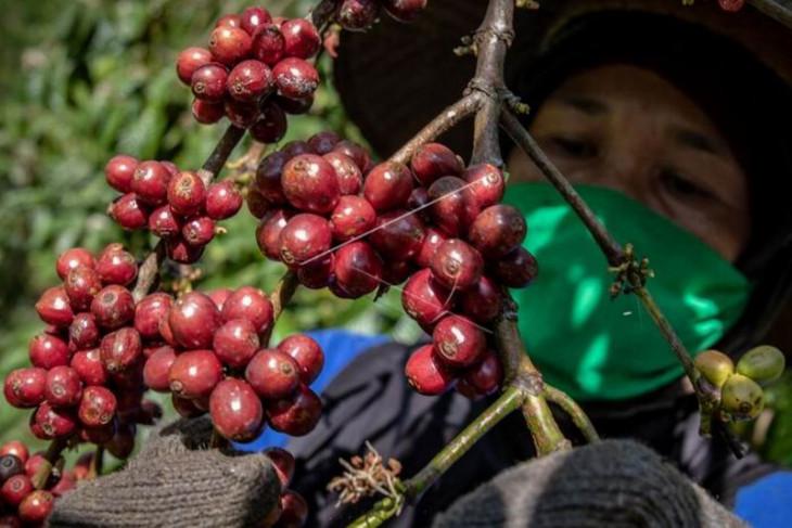 Panen raya biji kopi kualitas ekspor