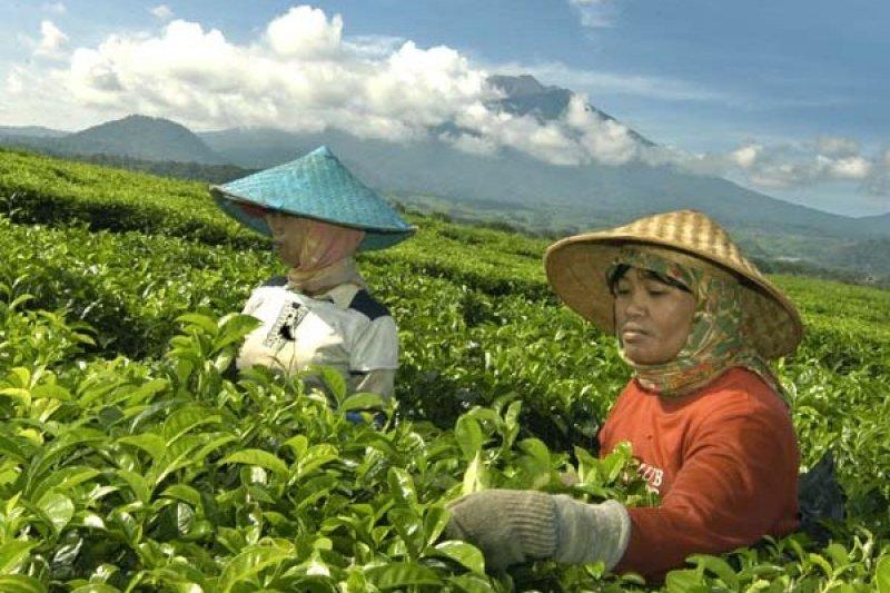 Industri teh Indonesia dalam keadaan lesu