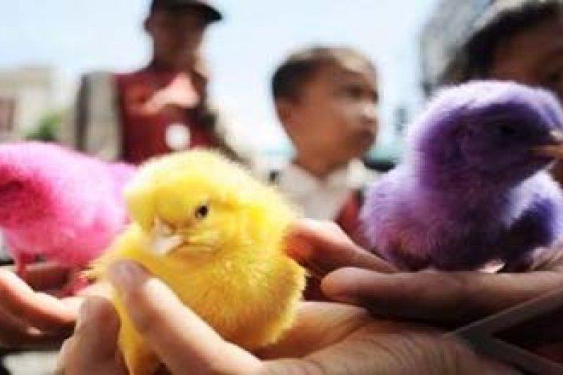 87+ Gambar Ayam Warna Warni Kekinian