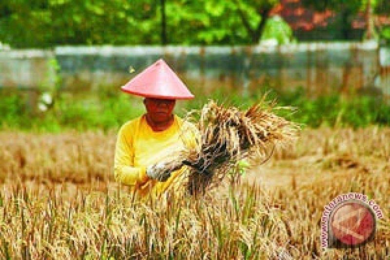 Petani Cangkringan sukses panen raya padi Ciherang