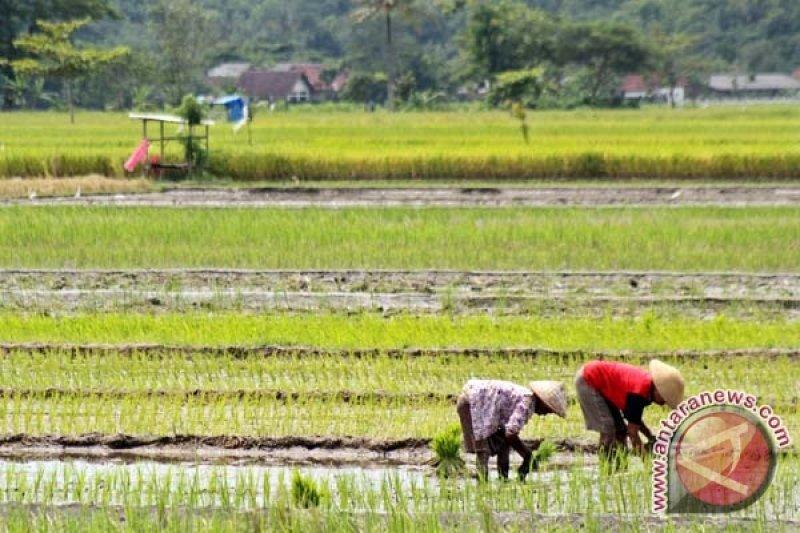 Bantul tekankan petani terapkan tanam jajar legowo