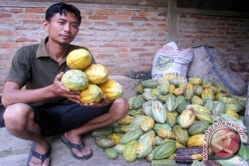 Petani Cokelat Pesawaran Lampung Nikmati Harga Tertinggi