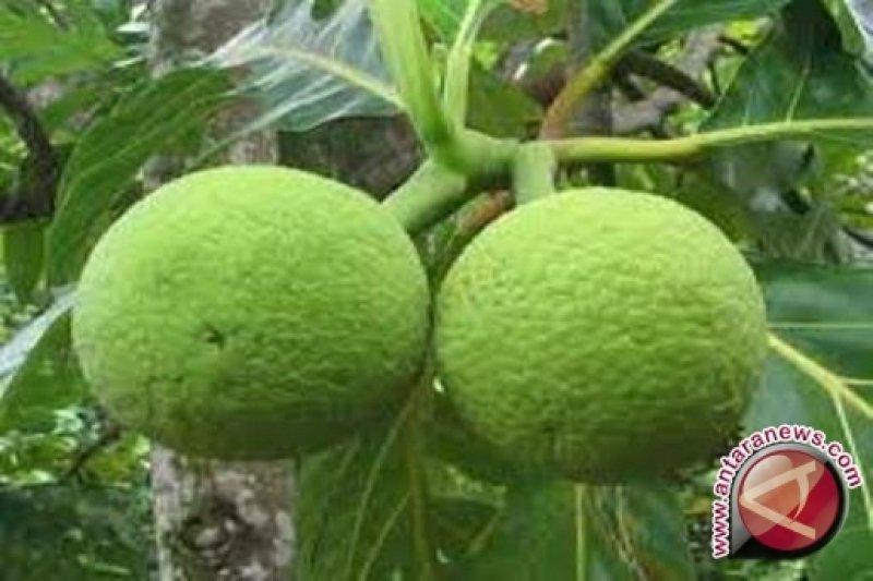 Pemerintah Kepulauan Seribu dorong sukun jadi pengganti beras