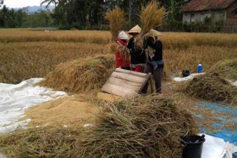 Petani Sulbar minati beras