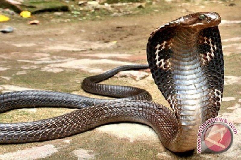 Ular King Cobra patuk pemuda  hingga tewas