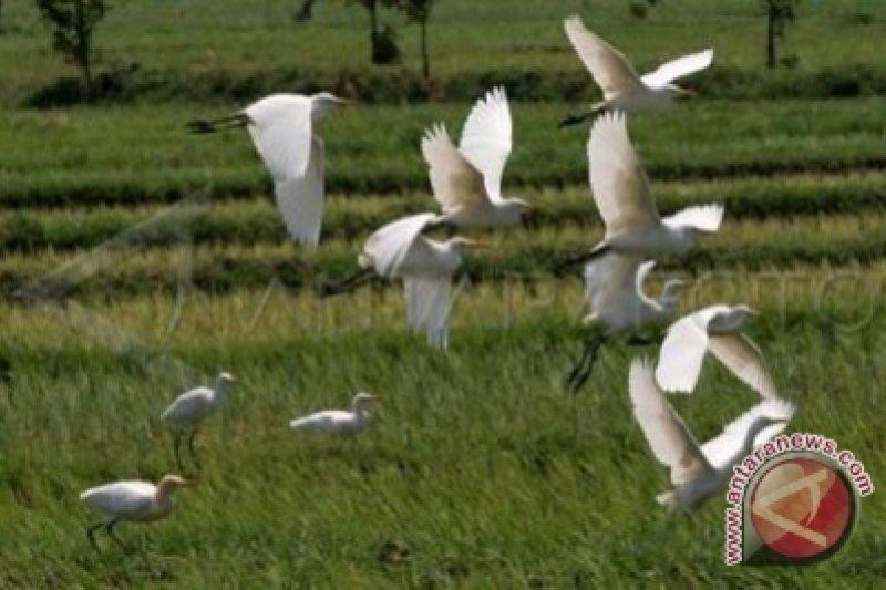 desa wisata ketingan jogja Kembang Api Akibatkan Burung Kuntul Ketingan Migrasi