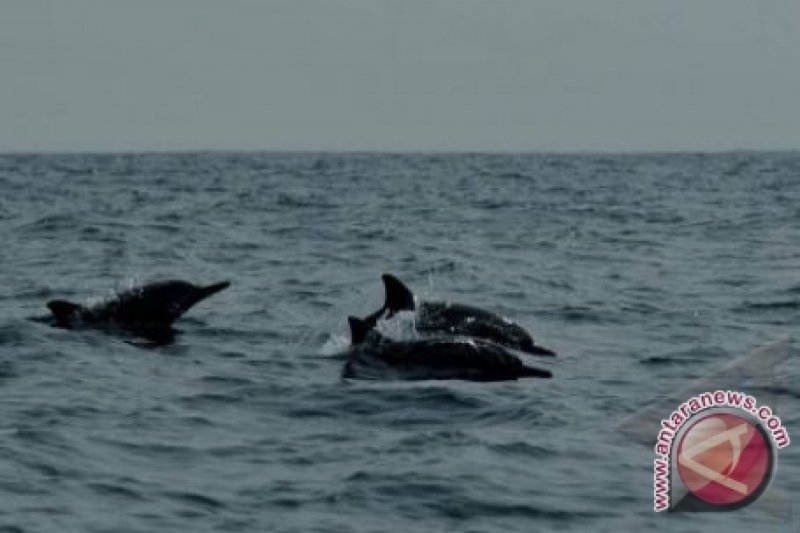 Seekor lumba-lumba terdampar di pantai Manikin