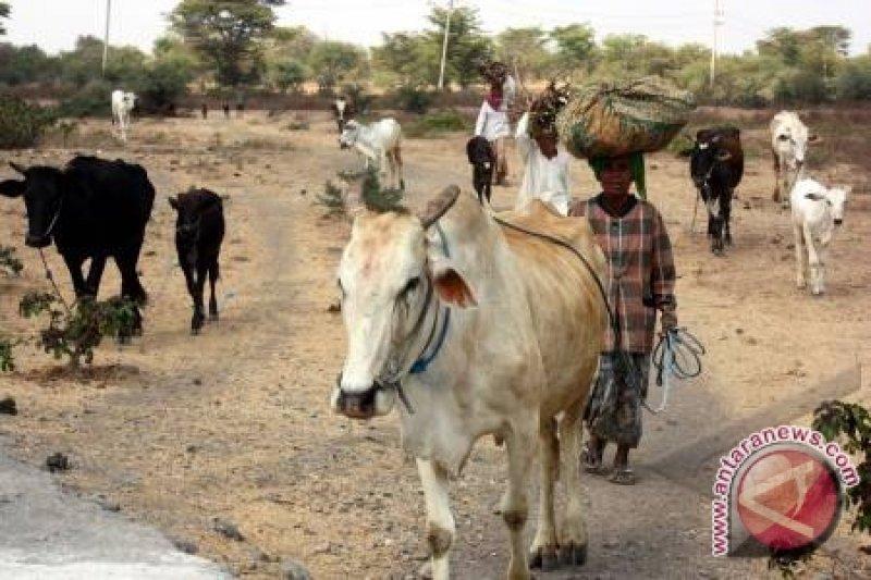 Kontes sapi di Kabupaten Siak