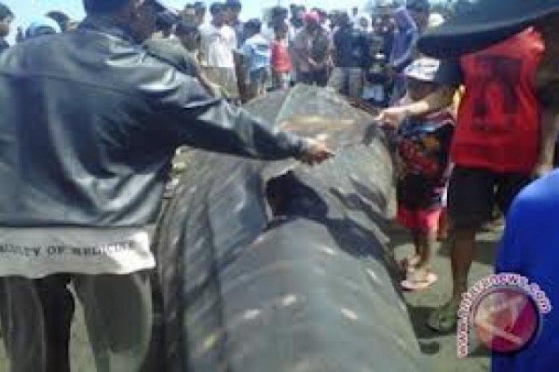 Bangkai Ikan Paus Terdampar di Pantai Sedayu