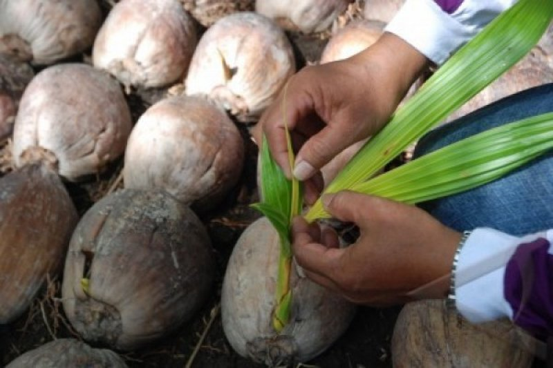 Babel gandeng ormas Islam kembangkan kelapa kopyor, ubi hingga kopi