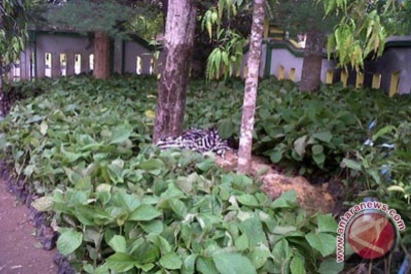 RPH Giring ganti tanaman 140 hektare