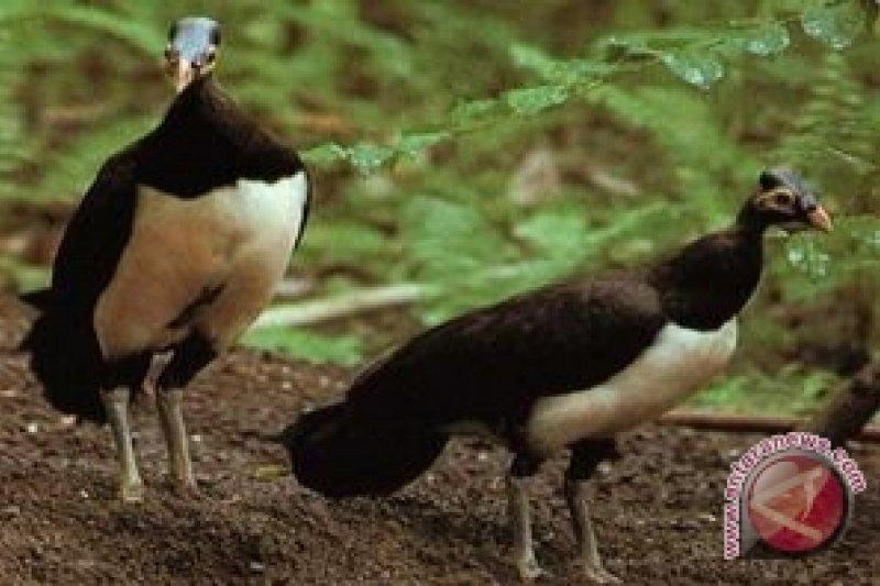 65 Gambar Hewan Burung Maleo Gratis Terbaik