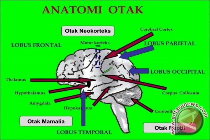 Teknik Baru Melihat Otak