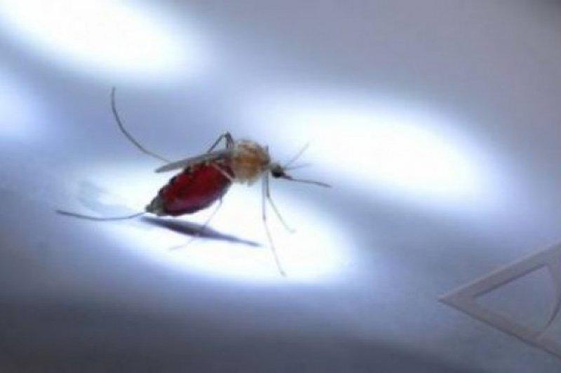 Ketika Nyamuk Mulai Resisten, Nyamuk Mandul Bisa Jadi Solusi