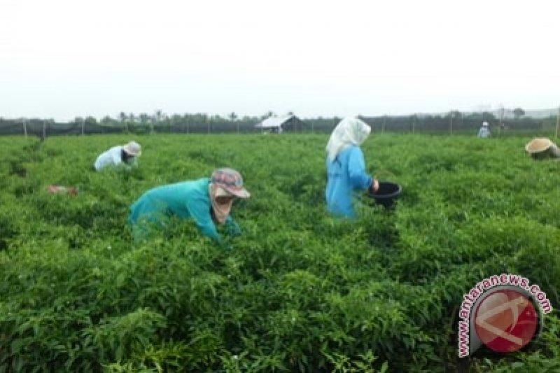 Produksi cabai di Kulon Progo mencapai 25.362 ton