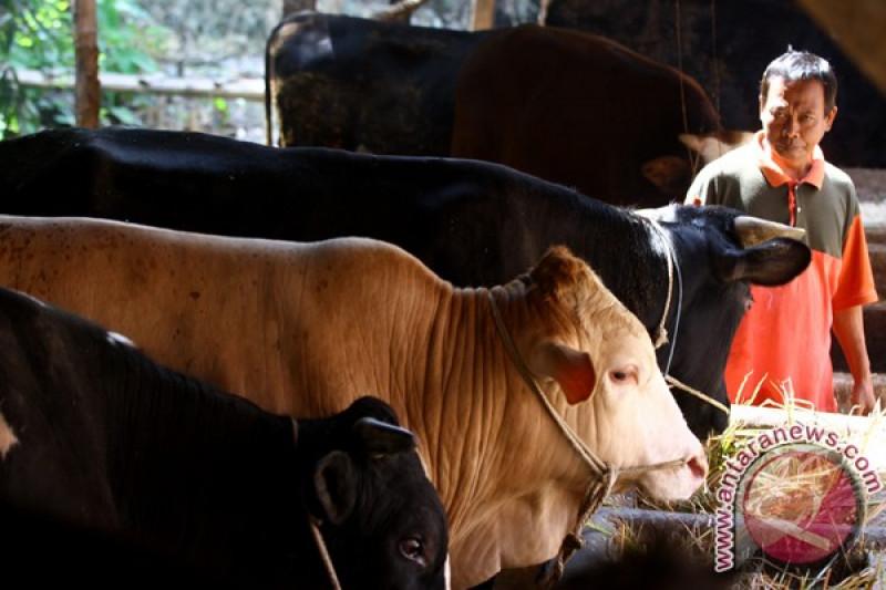 PT Berdikari impor 30 ribu sapi bakalan asal Australia