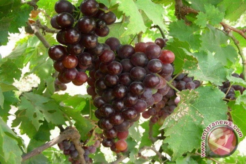Pemkab Batang ajak petani kembangkan budi daya anggur