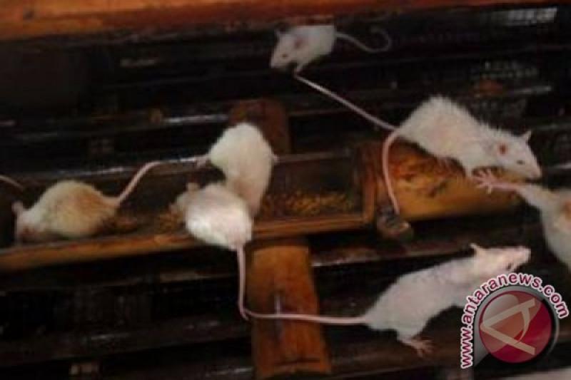 Beredarnya video tikus keliaran di rak makan, pemilik toko minta maaf